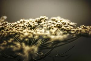 Queen Anne's Lace - HDR by exarobibliologist