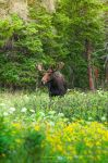 Moose: Wild Flowers by Flame-of-the-Phoenix