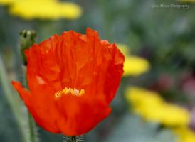 Poppies . . . Poppies by GlassHouse-1