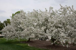 Blooming Dogwood Stock 4 by FairieGoodMother
