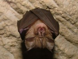 Lesser Horseshoe Bat by Faunamelitensis