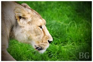 Lioness by Kerm
