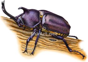 Japanese Rhinoceros Beetle by rogerdhall