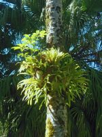 Staghorn Fern by joeyartist
