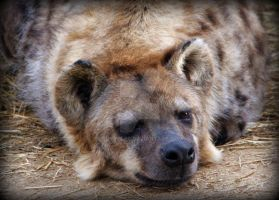 SPOTTED HYENA by CRYROLFE