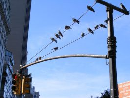 Birds in NYC by make-a-snappy
