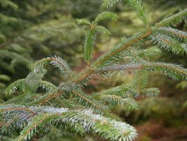 Pine Needles 03 by Axy-stock