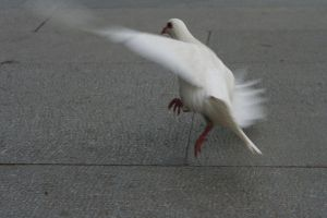 108 - Pigeon in flight by emilie-stock
