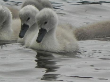 Swans and cygnets 5 by cacher18