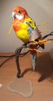 Rosella wip by shinigami-taxidermy