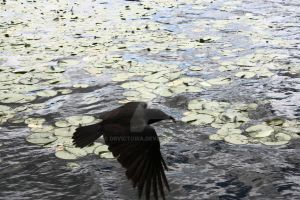 Crow Over Water Lilies by dbvictoria