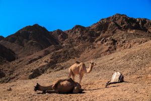 camels by douf