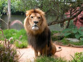 African Lion by Seans-Photography