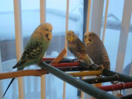 Budgie Trio 1 by Windthin