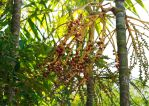 Palm Seed Pods 3 by Cairn73