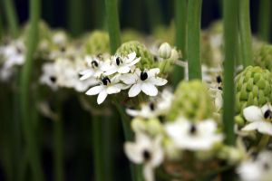 White Allium by Gothic-Enchantress