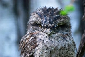 Eulenschwalm /  Tawny Frogmouth by malloth86