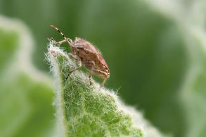 Dolycoris baccarum by FlorianHesse