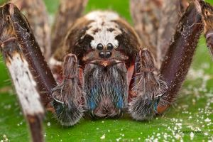 White-Striped Wandering Spider by melvynyeo
