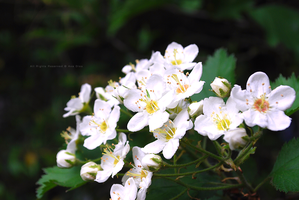 Little White Flowers by Ana-D