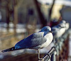 Seagull by JDM4CHRIST