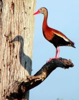 Red Billed Whistling Duck by flowerhippie22