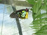 Male Cairns Birdwing butterfly by hoop479