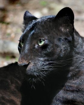 Panther by Brayla