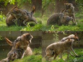 Wolf fight by PhotosThyria