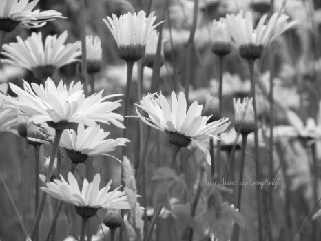 Among the Daisies by capturingthelight