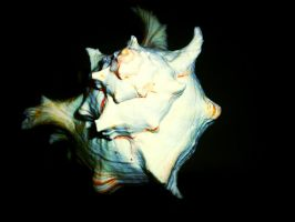 Conch Shell (edited) by Xfibia