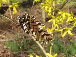 444 pine cone in a blooming forsythia bush by crazygardener