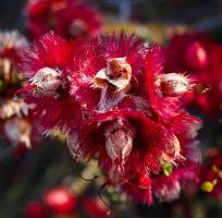 Gorgeously Fluffy Red Native Flowers by mikailium