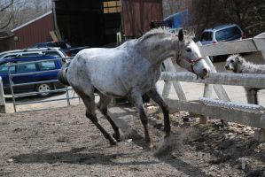 Appaloosa 21 by Spotstock