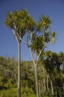 A Cabbage Tree by lsax001