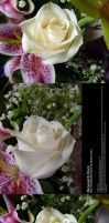 White Rose Stock 1 by Melyssah6-Stock
