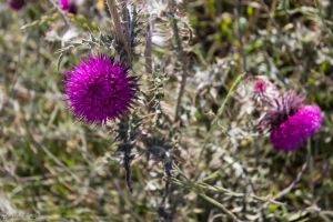 Thistle Blossom by LordMajestros