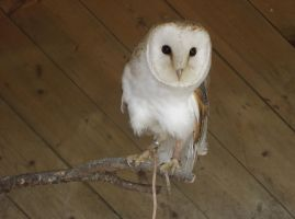 Barn Owl by thepapercraftcouple