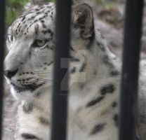 Behind bars:Snow leopard by Stormer1997