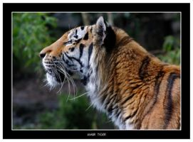 Amur Tiger Side View by Dr-Koesters