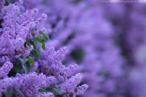 focus stacked lilacs by bimjo