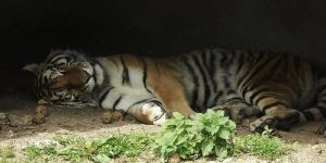 Sleeping tiger by kellioo