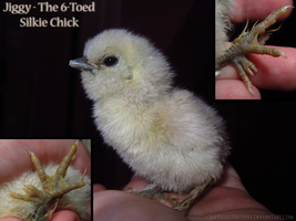 Jiggy - The 6-Toed Silkie Chick by Sapphiresenthiss