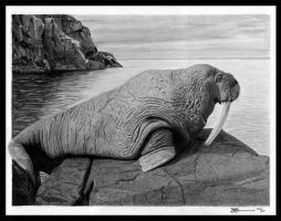 Walrus by Brendan65