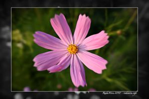 Pink Flower by Zamolxes