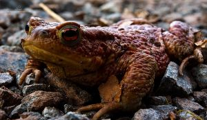 reddish toad by m3tzgore
