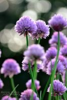 Chives by DannaOgden