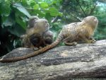 Pygmies marmosets by Cansounofargentina