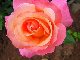 Pink and Peach Rose 4 by amster2006