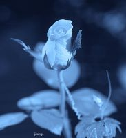 Blue rose by jcphotos